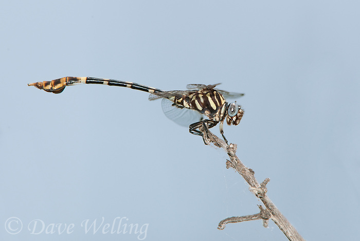 360220025 a wild male five-striped leaftail phyllogomphoides albrighti dragonfly perches on a stick in the lower rio grande valley of south texas