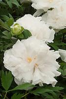 Paeonia 'Koshi-no-yuki suffruticosa white tree peonies
