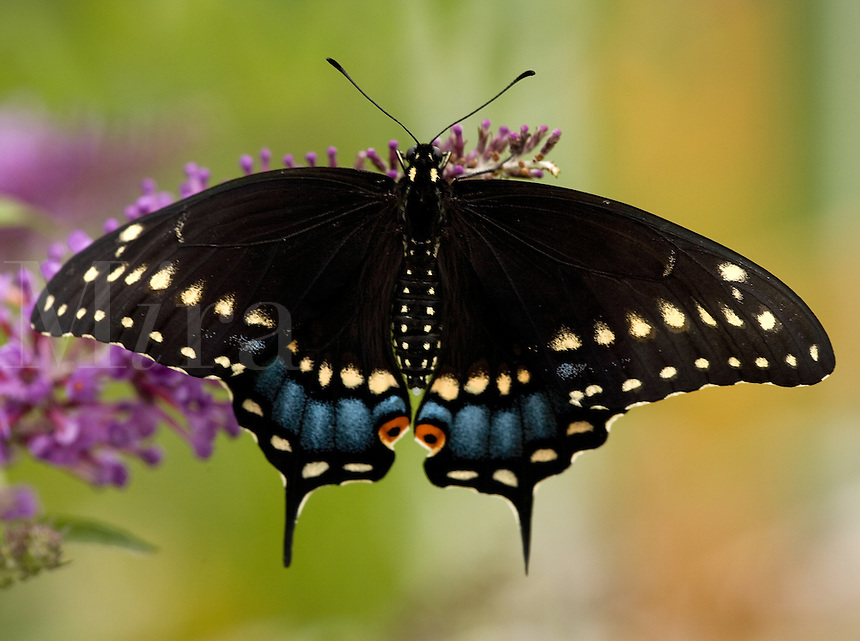 Black Swallowtail Butterfly sitting on purple butterfly bush