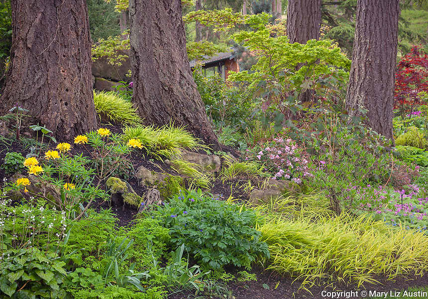 Vashon-Maury Island, WA: A perennial garden featuring deciduous azaleas, geraniums; Japanese forest grass; maples under a stand of Douglas firs
