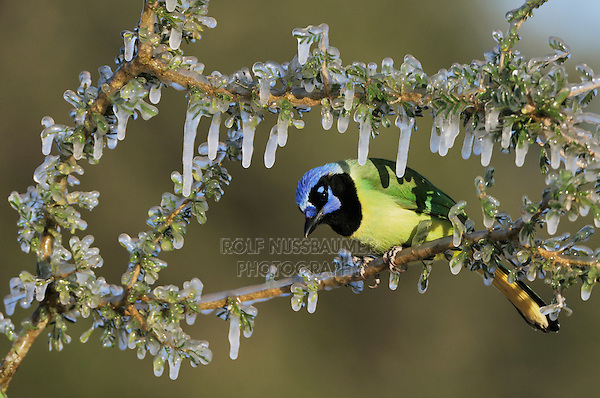 Green Jay (Cyanocorax yncas), adult on ice covered branch, Dinero, Lake Corpus Christi, South Texas, USA