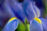 Close up of iris flower.