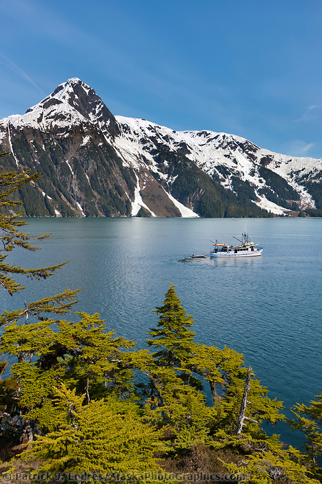 M/V Discovery, Western hemlock trees and the Chugach mountains, Barry Arm, Prince William Sound, Alaska.