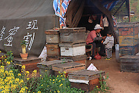 Luoping, Yunnan.  Daily life: professional beekeepers live for nearly eight months in tents near their hives. They migrate the hives from one flowering to another on rented trucks. They work as a family and also produce royal jelly and pollen that they sell to wholesalers.