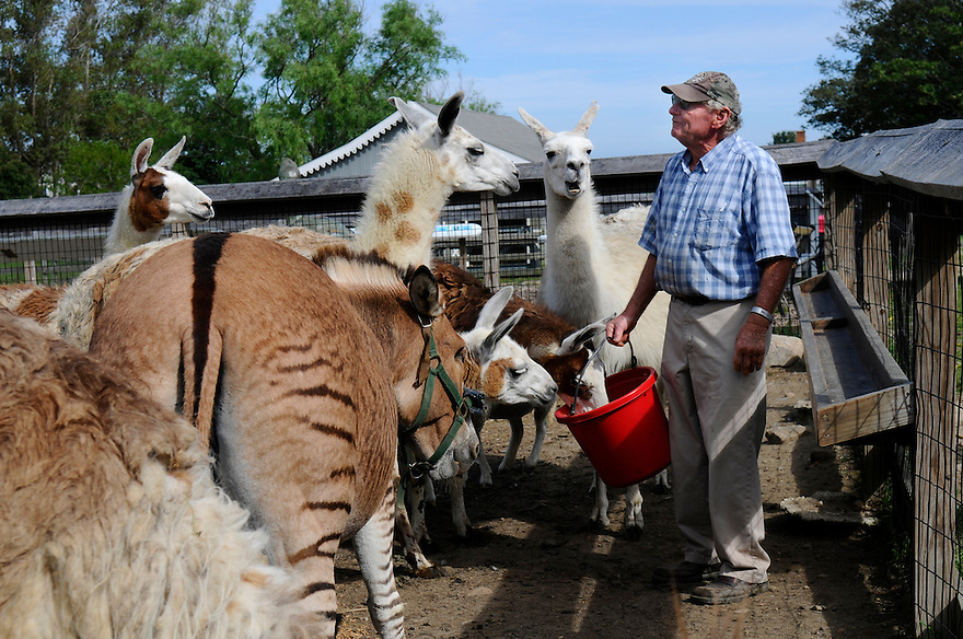 BLOCK ISLAND, RI - Sept. 3, 2009-- Justin Abrams has llamas, camels, kangaroos and a one-eyed zeedonk (zebra-donkey) on his farm behind the Hotel Manisses. CREDIT: JODI HILTON FOR THE NEW YORK TIMES
