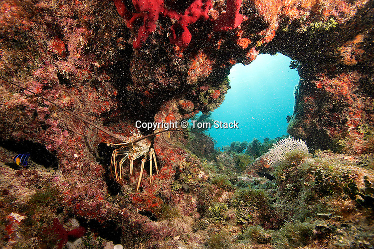 Florida Spiny Lobster in a coral grotto, Florida Keys National Marine Sanctuary