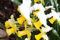 MAR 17 50th Thriplow Daffodil Weekend