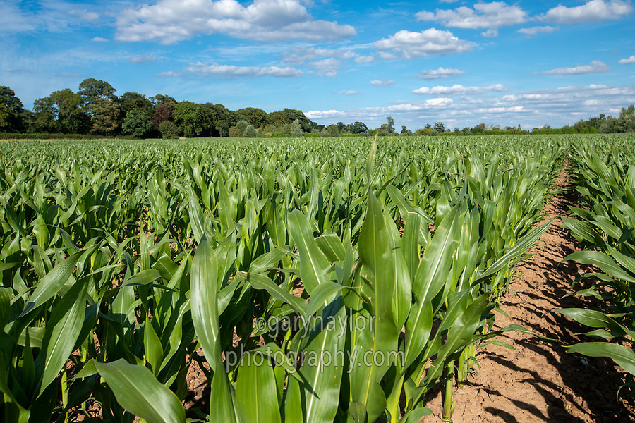 Forage maize - lincolnshire, July