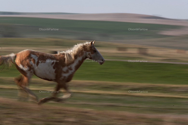 A mare runs with the Catnip herd of wild horses at International society for the Protection of Mustangs and Burros. Three herds are  cared for at the oldest wild horse organization founded in 1960.  Karen Sussman is the third president, . Wild Horse Annie, Velma Johnston, was the first. Annie, along with Helen Reilly worked together for the passage of the 1971 Wild Horses and Burros Act to protect horses from slaughter and inhumane treatment.