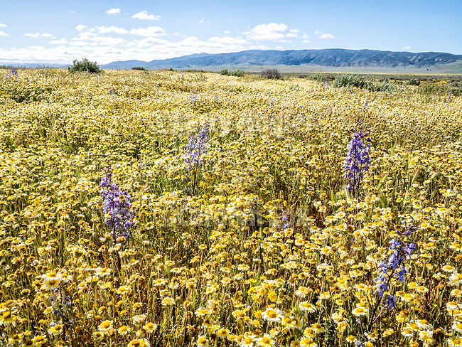 Spikes of purple larkspur amidst the yellow tidy tip and goldfield wildflowers cover the Carrizo Plain National Monument