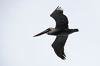 This brown pelican was one of a group flying past one of the access points to Bean Hollow State Beach on the California coast.