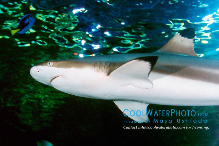 blacktip reef shark (c), .Carcharhinus melanopterus, .Indo-Pacific Ocean