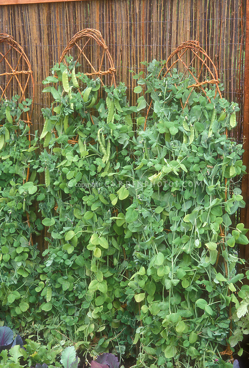 Peas growing upright on wicker supports against woven fence in vegetable garden