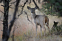 Mule Deer Fawn, Fort Davis, Texas