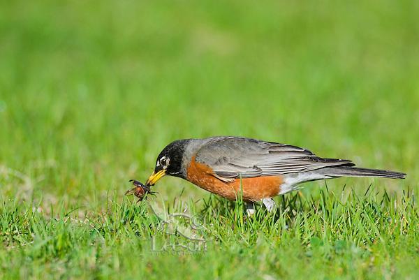 American Robin (Turdus migratorius) catching and eating Junebug.