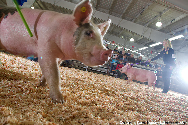 Students from the Future Farmers of America show their pigs at the Northwest Junior Livestock Show at the Washington State Spring Fair in Puyallup, Washington on April 17, 2015. The hogs must weigh between 225 - 285 pounds and average 6 months old. The students are judged on the grooming of their aninmal, how well they show it and how fit the animal is.  All students must own the animals they exhibit and are responsible for their care.
