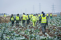Cabbage harvest gang leaving the field at the end of  ashift - Lincolnshire, November