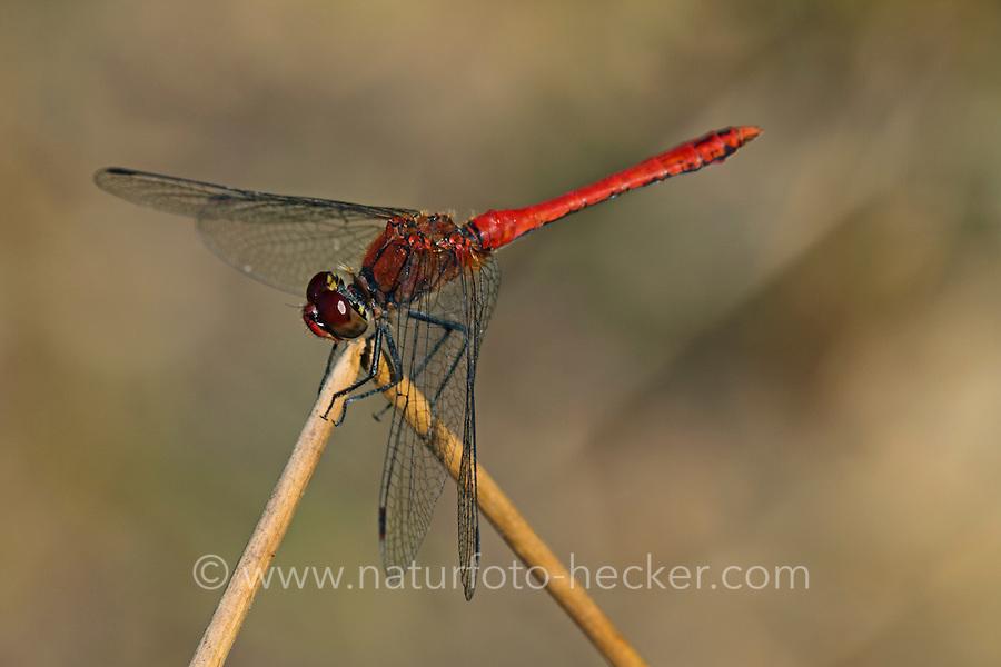 Blutrote Heidelibelle, Männchen, Sympetrum sanguineum, ruddy sympetrum, Ruddy Darter, male, Sympétrum sanguin