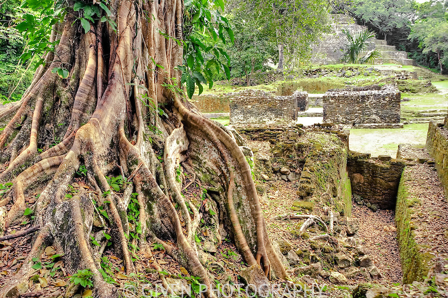 Fig tree and Mayan Ruins,  Lamanai, Belize