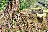 Fig tree and Mayan Ruins,  Lamanai, Belize