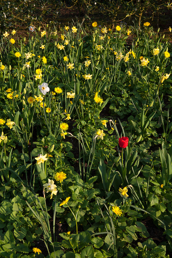 A single red tulip stands out in a flowerbed of yellow and white flowers in spring in Regent's Park, London, England