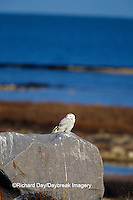 01120-00111 Snowy Owl (Nyctea scandiaca) Churchill  MB