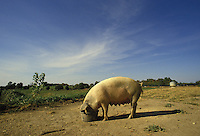 Nursing pig, sow, eats quietly from a bucket in rural midwest, USA
