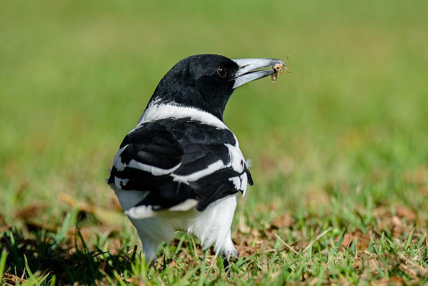 Pied Butcherbird, Ballina, New South Wales.