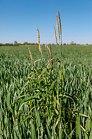 Black grass in winter wheat - Lincolnshire, May