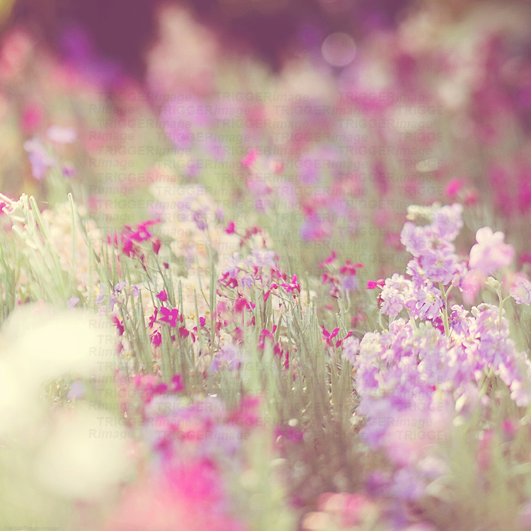 a field of purple flowers in the spring