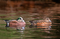 35-B02-WA-177   AMERICAN WIDGEON (Mareca americana) male and female on pond in spring, western Oregon, USA.