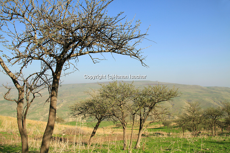 Israel, Lower Galilee, Acacia Albida trees in Nahal Tavor