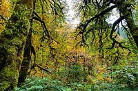Moss covered trees and changing leaves in Autumn at Silver Falls State Park in Oregon, USA.