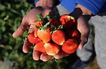 A Palestinian farmer shows strawberries at a farm in Beit Lahia, in the northern Gaza Strip, on January 30, 2019. Photo by Mahmoud Ajjour