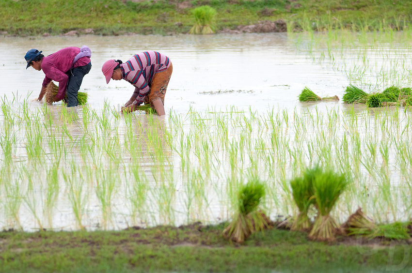 Planting Rice in the rural area near Battambang, Cambodia