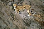 A cheetah stands watching the savannah.