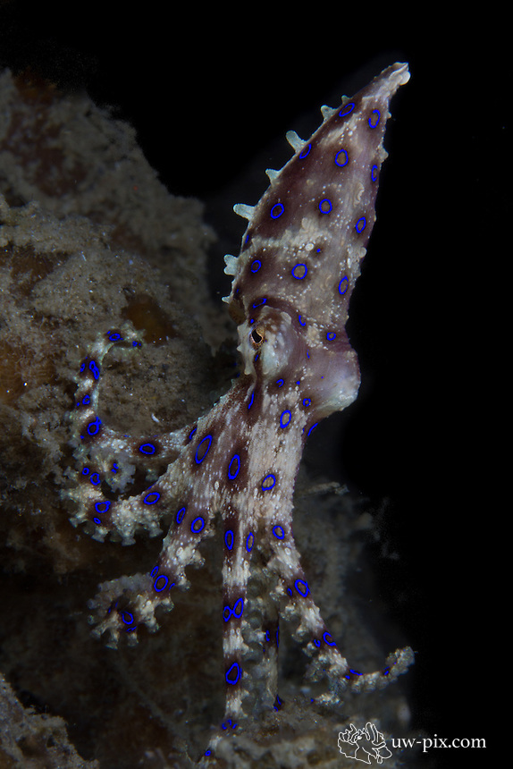 The blue-ringed octopus (Hapalochlaena sp.) is a toxic resident of the Lembeh Strait. Its bite can be deadly, as the venom paralyzes the muscles required for breathing and movement.