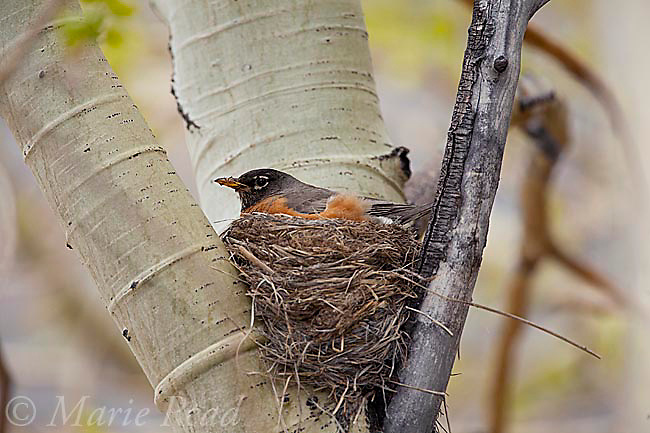 American Robin (Turdus migratorius) at nest, Lee Vining Canyon, Mono Lake Basin, California, USA