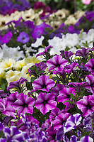 Petunia flowers 'Viva/Glow Rose Star'' from Cohen Propagation Nurseries, California Spring Trials
