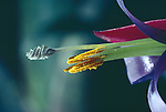 Bromeliad, Billbergia saunderiana, flower