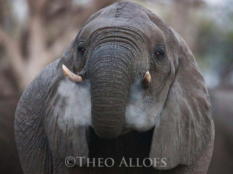 Botswana, Okavango Delta, Moremi; African elephant (Loxodonta africana) eating clay for minerals