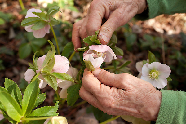 February 2, 2012. Hillsborough, NC.. Nancy Goodwin must pollinate certain types of flowers, like these hellebore,  by hand, rubbing two blooms together to transfer the pollen from to the other..  Nancy Goodwin, who used to run a mail order nursery for rare bulbs, has now preserved her gardens, which in winter, have thousands of blooming flowers and plants, including many rare species which she has cultivated and planted from seeds.
