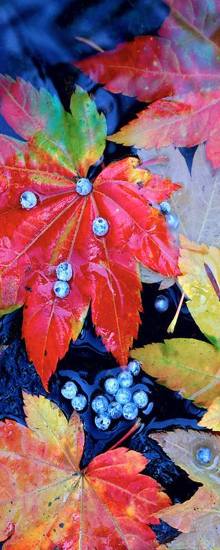 Vine Maple (acer circinatum) and Blue Elderberry (sambucus caerulea) berries. Alsea River, Oregon.