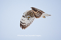 01113-012.16 Short-eared Owl (Asio flammeus) in flight at Prairie Ridge State Natural Area, Marion Co., IL