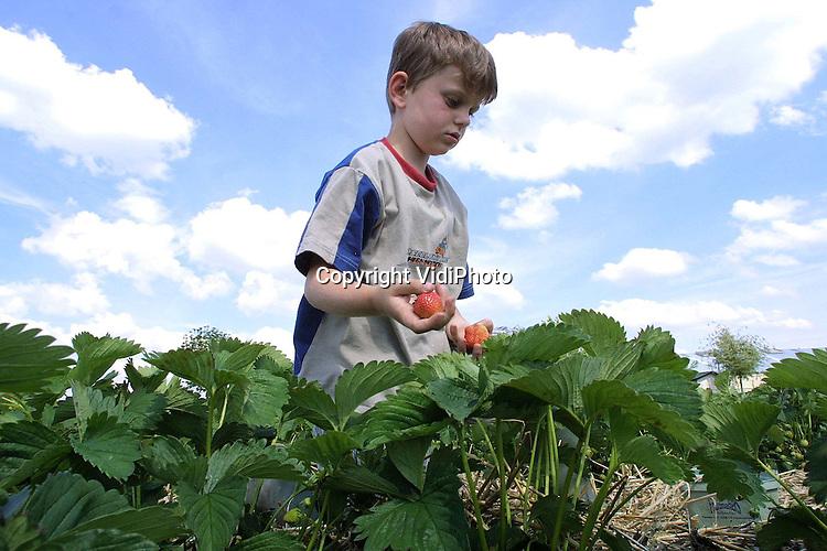Foto: VidiPhoto..KESTEREN - Aardbeienteler Van Dam kan nu iedere hulp gebruiken. De aardbeien van de koude grond beginnen te rijpen en brengen op dit moment goud geld op. Op de veiling doen de kostbare vruchten op dit moment tussen de 3,80 en 4,40 gulden per pond. En dat is een forse prijs voor aardbeien. Bovendien staan de planten bol van de vruchten. Volgens Van Dam hebben zo nog nooit zo goed gedragen.
