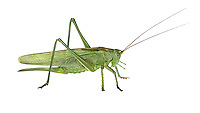 Great Green Bush-cricket - Tettigonia viridissima