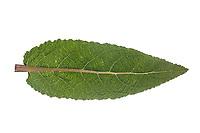 Wiesen-Salbei, Wiesensalbei, Salbei, Salvia pratensis, Meadow Clary, meadow sage, sage, La Sauge commune, la Sauge des prés. Blatt, Blätter, leaf, leaves
