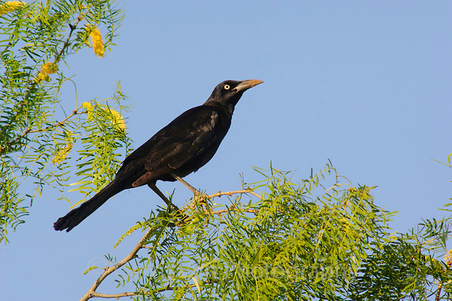 Adult male Great-tailed Grackle (Quiscalus mexicanus). Starr County, Texas, March.