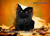 Xavier, ANIMALS, REALISTISCHE TIERE, ANIMALES REALISTICOS, cats, photos+++++,SPCHCATS862B,#a#, EVERYDAY