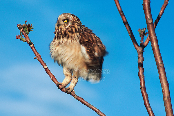 Short-eared Owl (Asio flammeus), adult perched, Austria